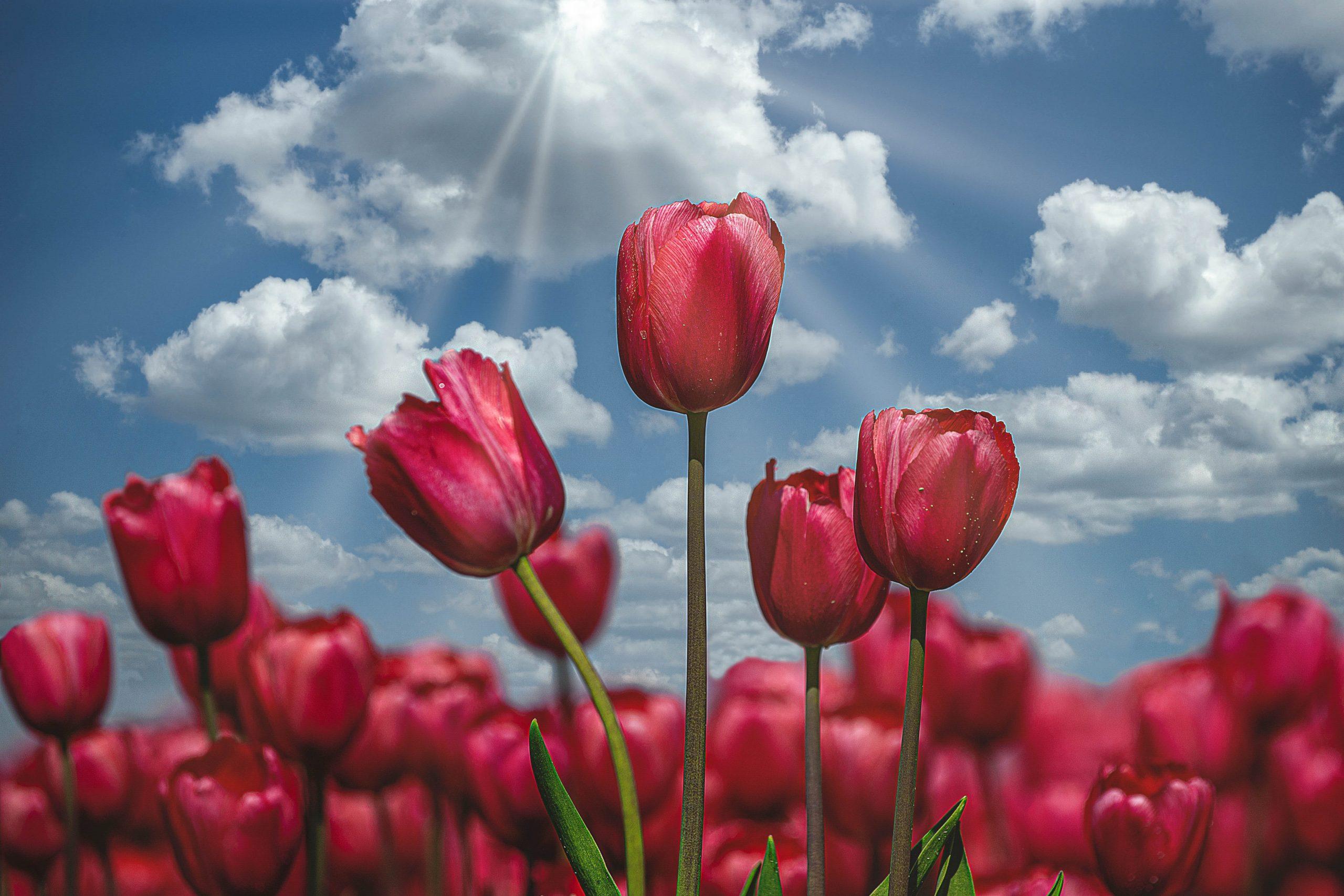 Rode tulpen zonnestralen
