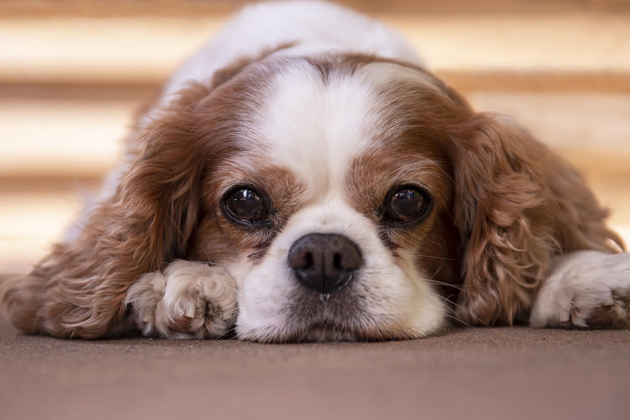 Dieren hond Bo